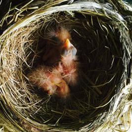 American robin hatchling chicks, day of hatching.