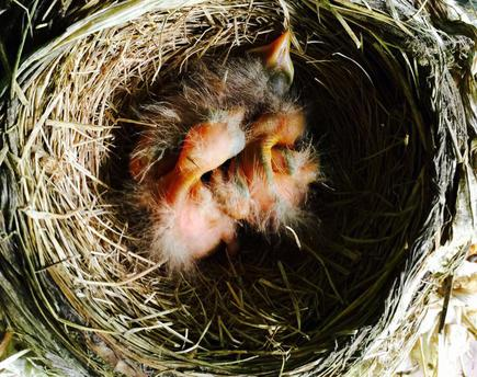 American robin hatchling chicks 2 days old.