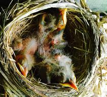 American robin nestling chicks 4 days old.