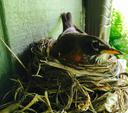 American robin female sitting on nest.