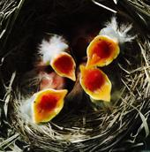 Four 2-day-old American robin chicks begging for food.