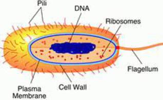 Prokaryotic cell parts functions diagram labeled drawing of prokaryotic cell ccuart Gallery