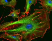 Fluorescent Stained Eukaryotic Cell : Nucleus  Blue, Microtubules Green and Actin Filaments Red
