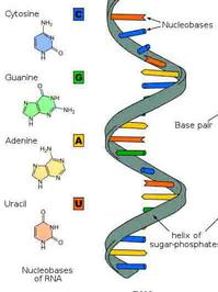 RNA Nucleotide Color Illustration