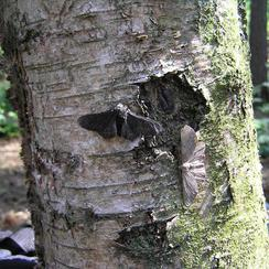 Peppered moths on tree trunk.