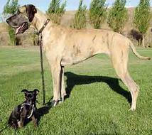 Artificial Selection Has Resulted in Domestic Dogs That Differ Greatly in Size, Appearance and Temperament