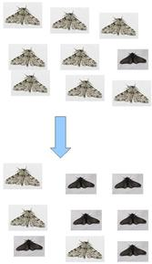 Population shift in the color of Peppered Moths in England. After the industrial revolution trees became darker from the pollution and dark moths were selected for.  Mock-up of image for illustrating peppered moth evolution based on pictures taken by Olaf Leillinger.