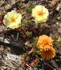 Moss Rose, Portulaca grandiflora, with Flowers of Two Colors as a Result of a Mutation