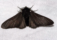 Biston betularia f. carbonaria, the black-bodied peppered moth.