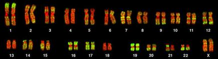 Karyotype of a human female, showing 22, duplicated, homologous pairs of autosomes, and two duplicated X chromosomes.