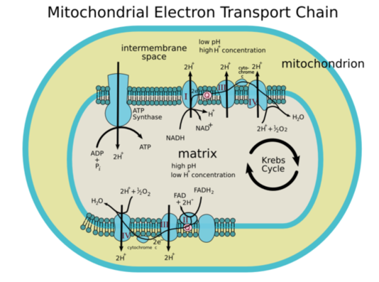electron transport chain of cellular respiration