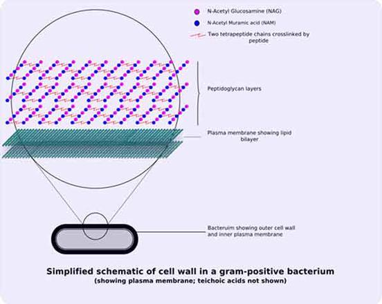 Bacterial cell wall structure gram positive negative gram positive cell wall structure ccuart Images