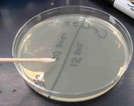 Sterile disposable swabs can also be used to transfer bacteria.