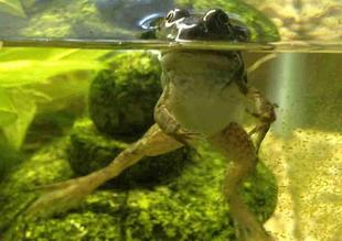 Young Bullfrog That Just Completed Metamorphosis