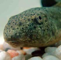 "Bullfrog Tadpole, Note ""Whiskers"" Around Mouth"