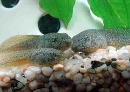 American Bullfrog Tadpole Growing at Differemt Rates