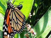 Monarch Butterfly Laying Egg on Underside of Common Milkweed Leaf