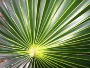 Miscellaneous Palm Leaf Photo