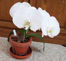 White Phalaenopsis Orchid Photo