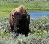 American Bison  (Bison bison) foraging on Sage photo
