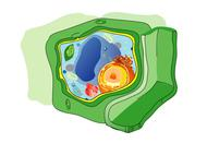Drawing of a Plant Cell