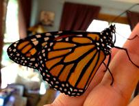 Monarch Butterfly That Recently Emerged From Chrysalis.