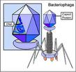 Virus Type: Bacteriophage