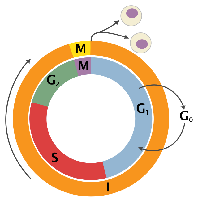 Schematic of the cell cycle.  Outer ring: I = Interphase, M = Mitosis; Inner ring: M = Mitosis, G1 = Gap 1, G2 = Gap 2, S = Synthesis; not in ring: G0 = Gap 0/Resting.