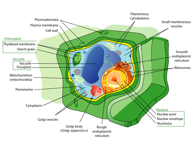 Plant cells structures functions diagram labeled illustration of plant cell ccuart Image collections
