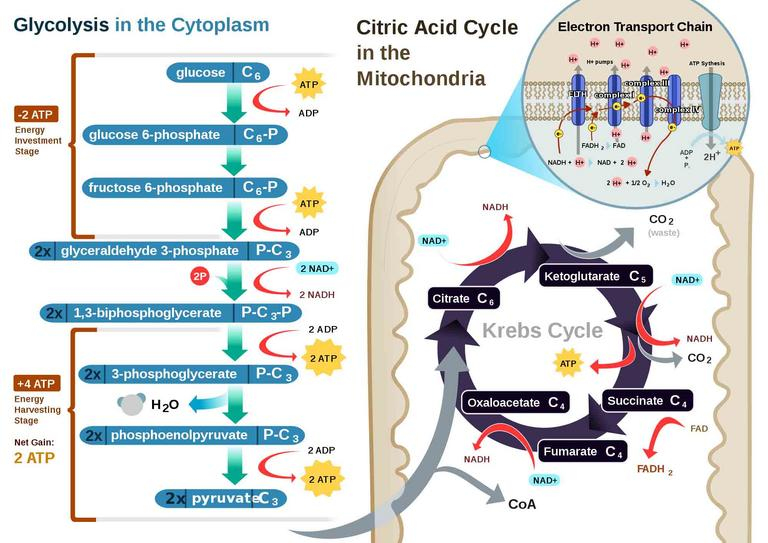 electron transport chain of cellular respiration glycolysis diagram biology