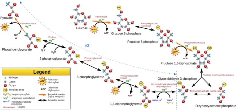 Metabolism the steps of aerobic cellular respiration diagram of glycolysis ccuart Images