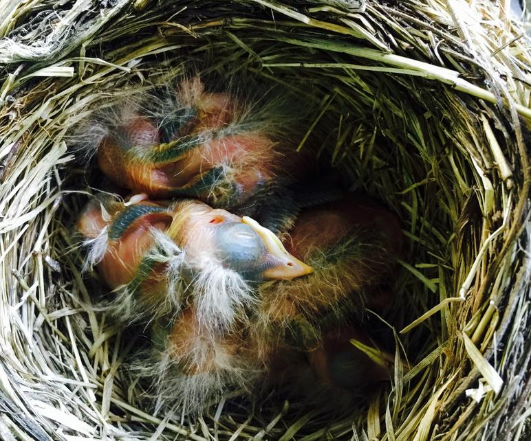 American Robin Nestling Chick Development Photos Of Baby