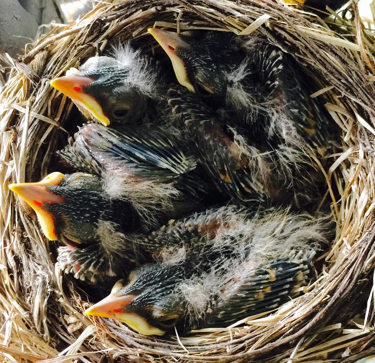 American Robin Nestling Chick Development Photos Of Baby Robins From Egg To Fledgling Betty 2015