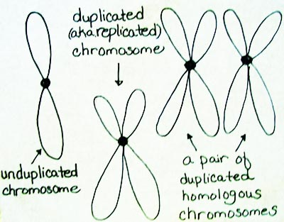 Difference Between Duplicated Homologous Chromosomes