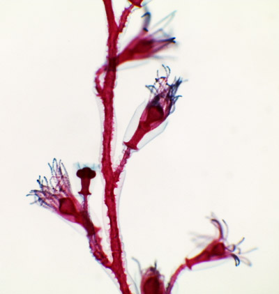 General Biology Microscopic Specimen Images Amp Photographs