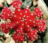 How To Care For Moon Cactus Grafted Gymnocalycium