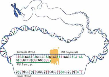 Nucleic Acid Function Dna Replication Transcription Translation