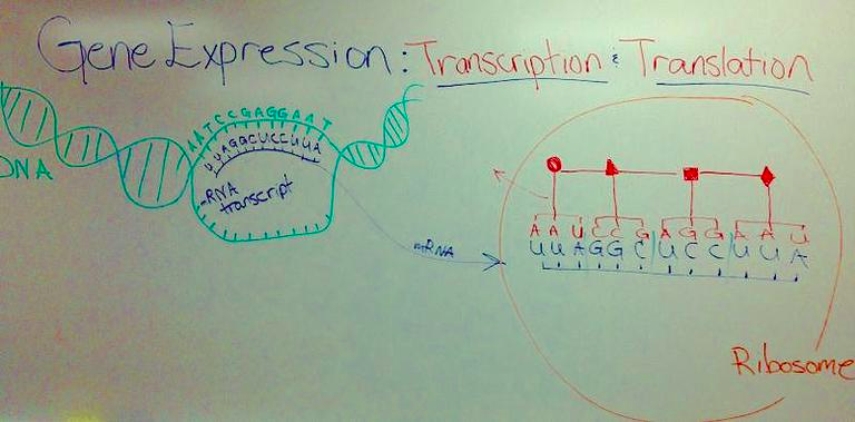 Nucleic Acid Function Dna Replication Transcription Translation