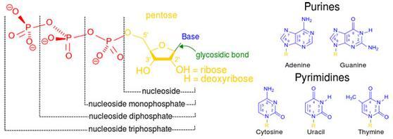 Nucleic Acid Function  Dna Replication  Transcription