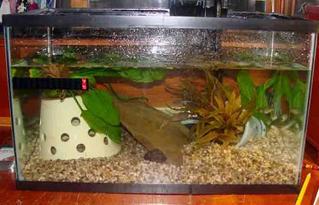 Bullfrog Tadpoles Aquarium Tank Set Up And Frog Care